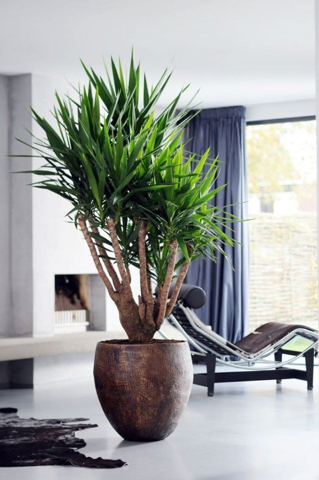 salle manger yucca la plante du mois de mars paris c t jardin leading. Black Bedroom Furniture Sets. Home Design Ideas